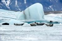 joekulsarlon_zeehonden_op_het_ijs_-_seals_at_joekulsarlon_ice_20150224_1860617674