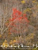 lijsterbes_in_herfstkleed_-_european_rowan_in_autumn_collors_-_mehlbeeren_im_herbst_farben_20161009_1491213401