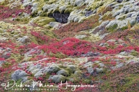 lavaveld_met_mos_en_dwergberk_-_lava_field_with_moss_and_dwarf_birch_-_lava_mit_moos_und_zwerg_birke_20161009_1732591248