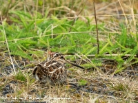 watersnip_-_common_snipe_-_bekassine_-_galliniago_gallinago__20170625_1155602544