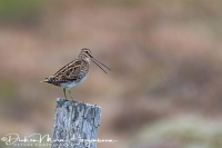 watersnip_-_common_snipe_-_bekassine_-_galliniago_gallinago___20170625_1413916379