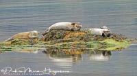 zeehonden_-_seals_-_hundsrobben_-_phocidae_-_lekker_luieren_20170625_1893541371