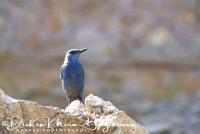 blauwe_rotslijster_blue_rock_thrush_monticola_solitarius_1_20141219_1600483016