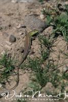 slangenooghagedis_snake-eyed_lizard_ophisops_elegans_20141219_1540301997