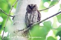 dwergooruil_eurasian_scops_owl_otus_scops_20141219_2085586671