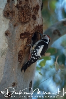 middelste_bonte_specht_middle_spotted_woodpecker_dendrocopos_medius_1_20141219_1343838907