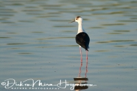 steltkluut_black-winged_stilt_himantopus_himantopus_20141219_1545275269