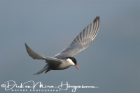 witwangstern_whiskered_tern_chlidonias_hybridus_20141219_1574449718