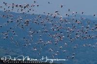 flamingo_greater_flamingo_phoenicopterus_ruber_20141219_2034568490