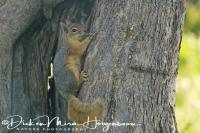 kaukasuseekhoorn_caucasian_squirrel_sciurus_anomalus_20141219_2037080464