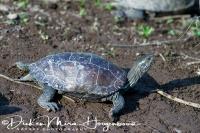 kaspische_beekschildpad_caspian_turtle_or_striped-neck_terrapin_mauremys_caspica2_20141219_1027706652
