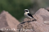 blonde_tapuit_black-eared_wheatear_oenanthe_hispanica_20141219_1583123755