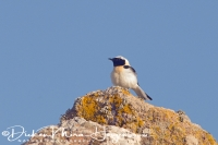 blonde_tapuit_black-eared_wheatear_oenanthe_hispanica1_20141219_1618858490