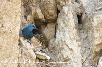 blauwe_rotslijster_blue_rock_thrush_monticola_solitarius_20141219_1451942504