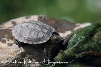 europese_moerasschildpad_european_pond_turtle_emys_orbicularis_20141219_2098851984
