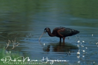 zwarte_ibis_glossy_ibis_plegadis_falcinellus_20141219_1698067041