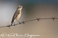 paap_whinchat_dsaxicola_rubetra1_20141219_2017517966