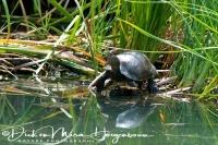 kaspische_beekschildpad_caspian_turtle_or_striped-neck_terrapin_mauremys_caspica_20141219_1482496278