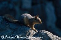 kaukasuseekhoorn_caucasian_squirrel_sciurus_anomalus2_20141219_1493122869