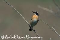 paap_whinchat_dsaxicola_rubetra_20141219_1561858987