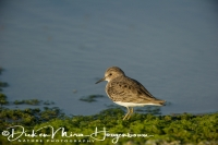 temmincks_strandloper_-_temmincks_stilt_-_calidris_temminckii_20150527_1696935719