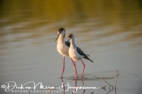 steltkluut_-_black-winged_stilt_-_himantopus_himantopus_after_mating_20150527_1220255301