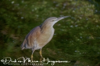 ralreiger_-_squacco_heron_-_ardeola_ralloides_watching_20150527_1848220178