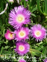 aster_-_aster_is_a_genus_of_flowering_plants_in_the_family_asteraceae_20150527_1843382916
