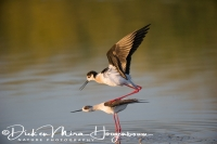 steltkluut_-_black-winged_stilt_-_himantopus_himantopus_20150527_1026481123