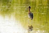zwarte_ibis_-_glossy_ibis_-_plegadis_falcinellus_20150527_1953143895