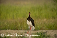 zwarte_ooievaar_-_black_stork_displaying_-_ciconia_nigra_20150527_1013739927
