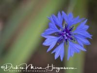 korenbloem_-_cornflower_-_centaurea_cyanus_20150527_1255325302