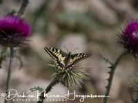 koninginnepage_-_swallowtail_-_papilio_machoon__20150527_1945433559