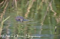 schildpad_zwemmend_-_swimming_turtle_20150527_1840664703