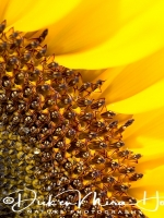 zonnebloem_-_sunflower_-_helianthus_20150113_1775657816