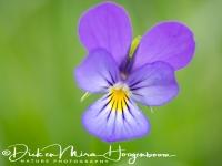 driekleurig_viooltje_-_heartsease_-_viola_tricolor_20150113_1029030840