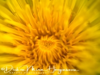 paardenbloem_-_common_dandelion_-_taraxacum_officinale__20150113_1418611447