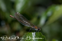 iberische_beekjuffer_-_western_demoiselle_or_yellow-tailed_demoiselle_female_-_calopteryx_xanthostoma_20150113_1786948538