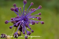 kuifhyacint_-_tassel_hyacinth_-_leopoldia_comosa_20150113_1271412930
