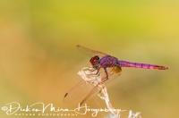 purperlibel_-_violet_dropwing_-_trithemis_annulata_20150113_1079742070