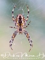 kruisspin_-_european_garden_spider_-_araneus_diadematus__20150113_1649088058