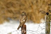 sperwer_deurasian_sparrowhawk_accipiter_nisus_20141220_1561282621