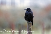 kraai_carrion_crow_corvus_corone_20141220_2082320501