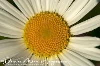 margriet_the_ox-eye_leucanthemum_vulgare__20141220_1879858426