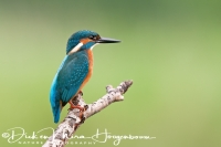 ijsvogel_common_kingfisher_alcedo_atthis_1_20141220_1799026486