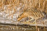 roerdomp_great_bittern_botaurus_stellaris_20141220_1570894344