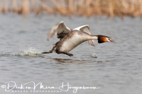 fuut_great_crested_grebe_podiceps_cristatus_1_20141220_1646980801