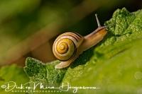 gewone_tuinslak_grove_snail_or_brown-lipped_snail_cepaea_nemoralis_20141220_1040319637