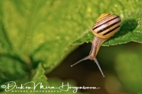gewone_tuinslak_grove_snail_or_brown-lipped_snail_cepaea_nemoralis_1_20141220_2079962771
