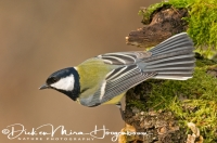 koolmees_great_tit_parus_major_20141220_1583447365